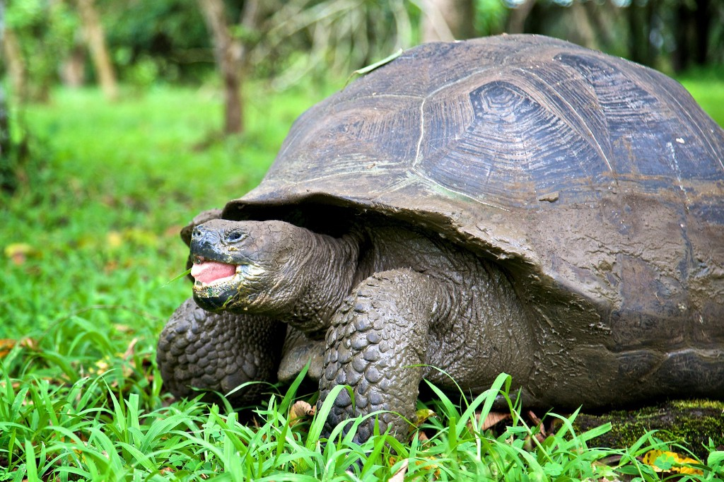 Photos Of The Galápagos Image: A tortoise stands in green grass.