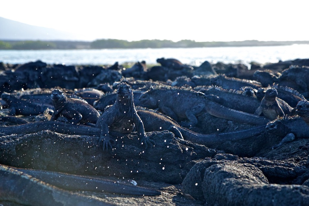 Photos Of The Galápagos Image: An island full of marine iguanas.