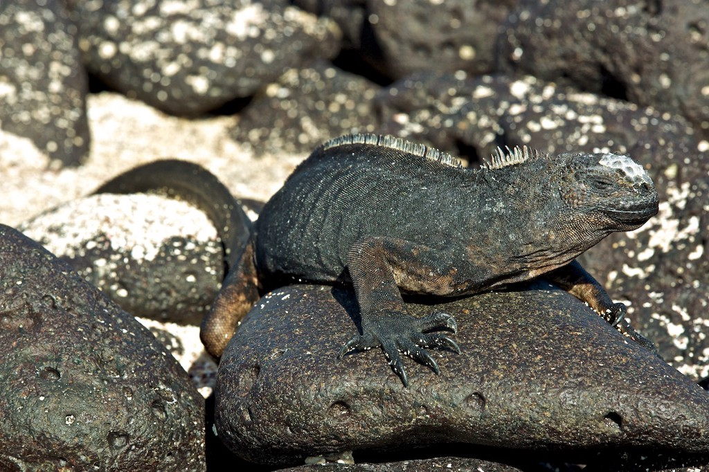 Photos Of The Galápagos Image: An iguana sunbathes on a rock.