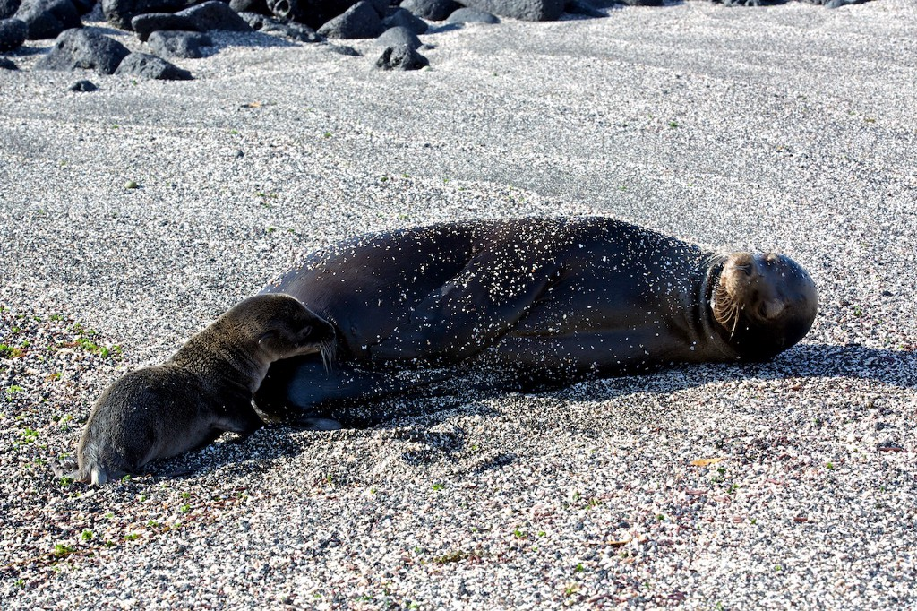 Photos Of The Galápagos Image: A sea lion and sea lion pup lay on a gravelly beach in the Galápagos Islands.