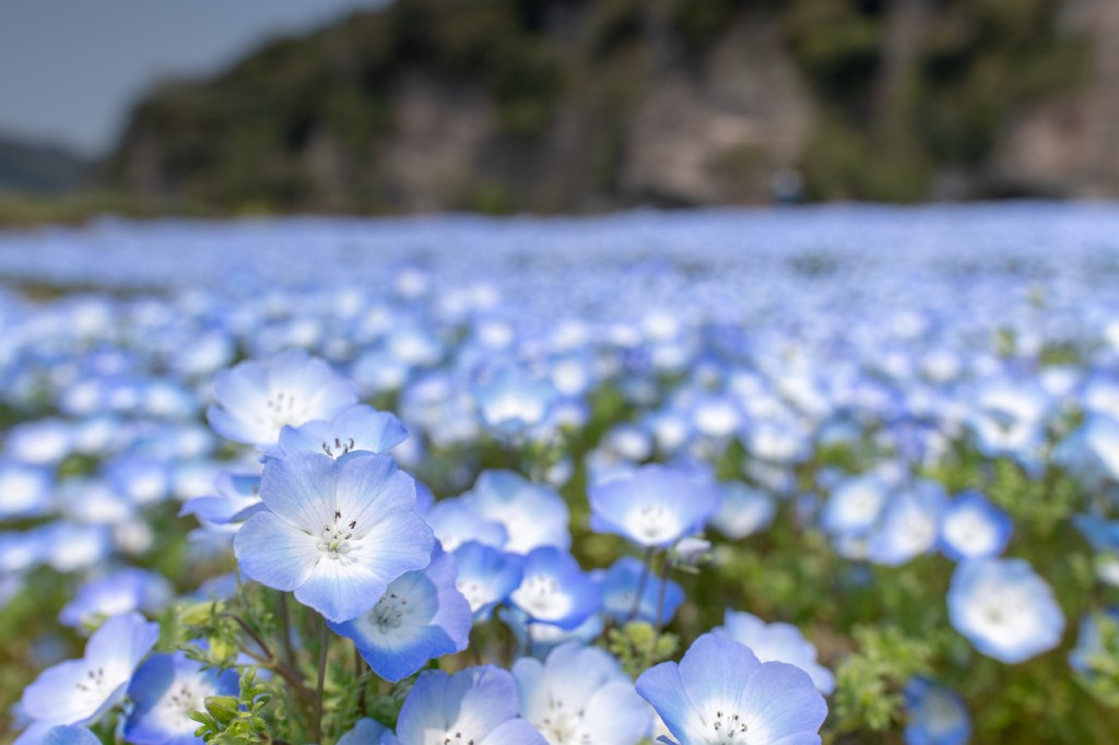 field of flax with blue flowers