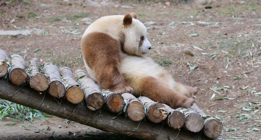 world s only brown giant panda tries its best but fails to lose its