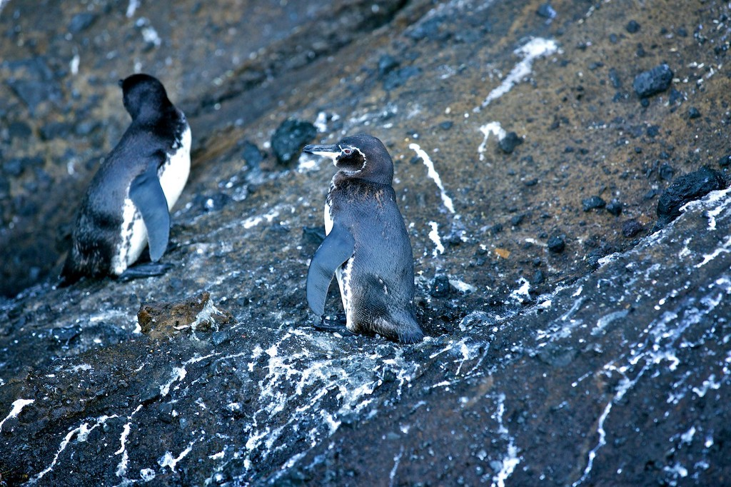 Photos Of The Galápagos Image: Two Galápagos penguins are enjoying their rocky habitat.