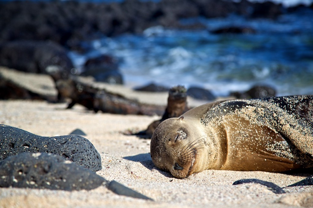 Photos Of The Galápagos Image: A sea lion naps on a sunny and sandy beach.