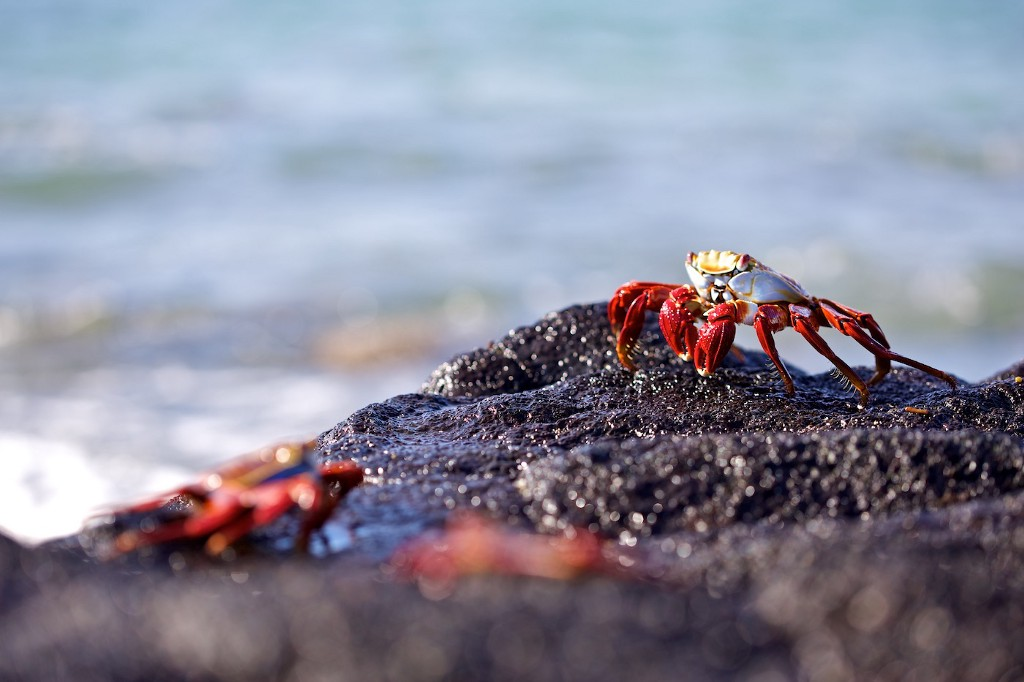 Photos Of The Galápagos Image: A Sally Lightfoot crab sits on a rock near the ocean—two other crabs are blurred in the foreground.