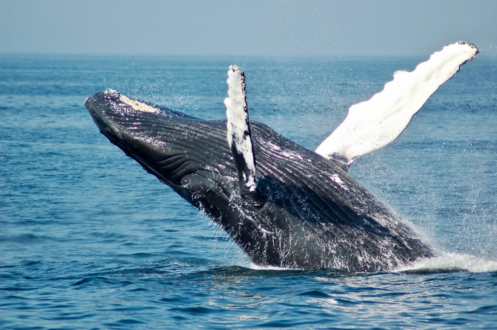 Blue whale leaping from ocean