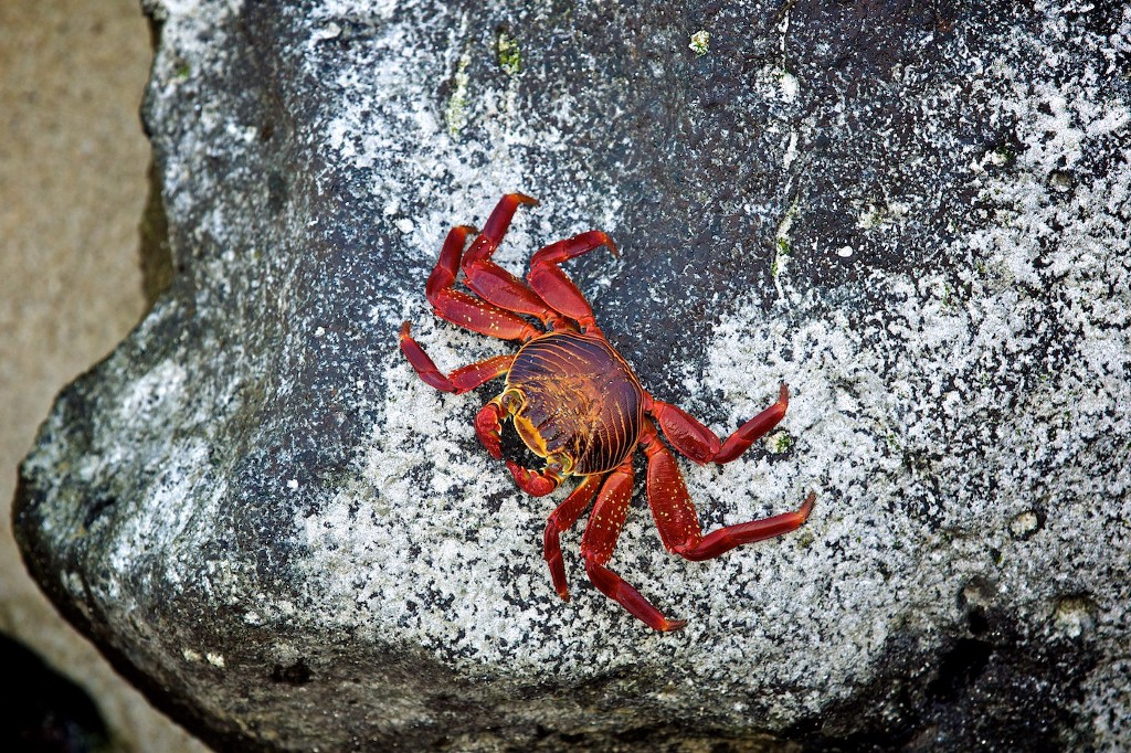 Photos Of The Galápagos Image: A red crab clings to the side of a grey rock.