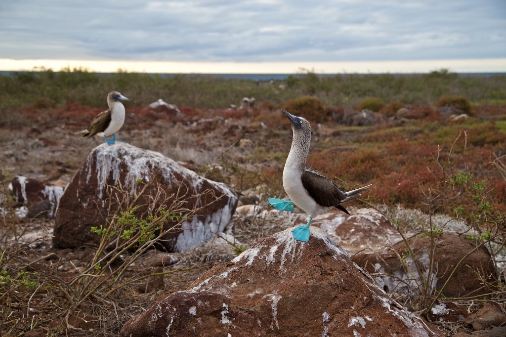 Photos Of The Galápagos Image: Blue-footed boobies do their mating dance on rocks.