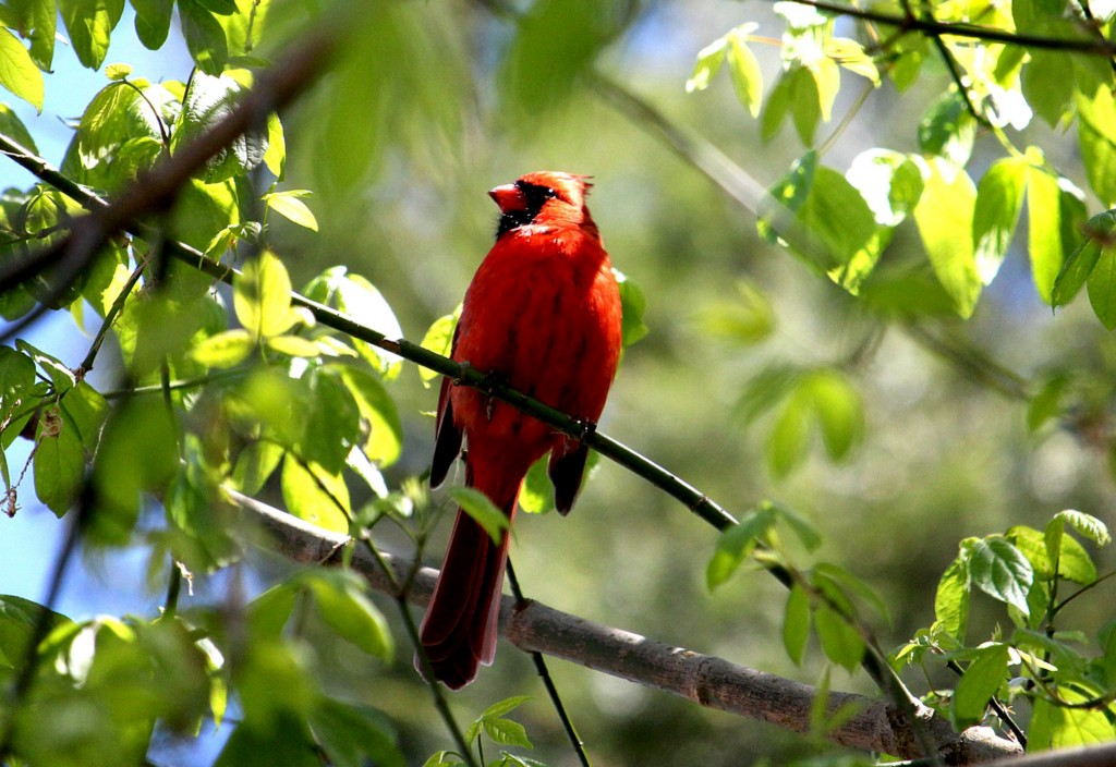 A cardinal on a tree branch.