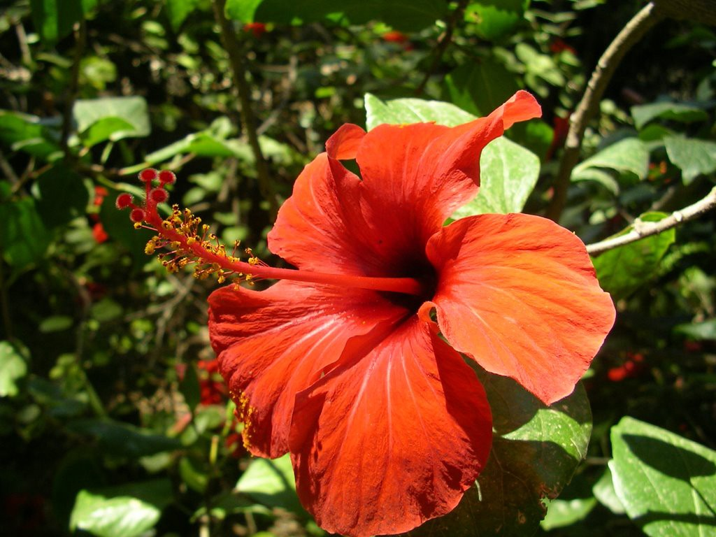 Hibiscus More Than Just A Pretty Flower Christal Burnette Medium