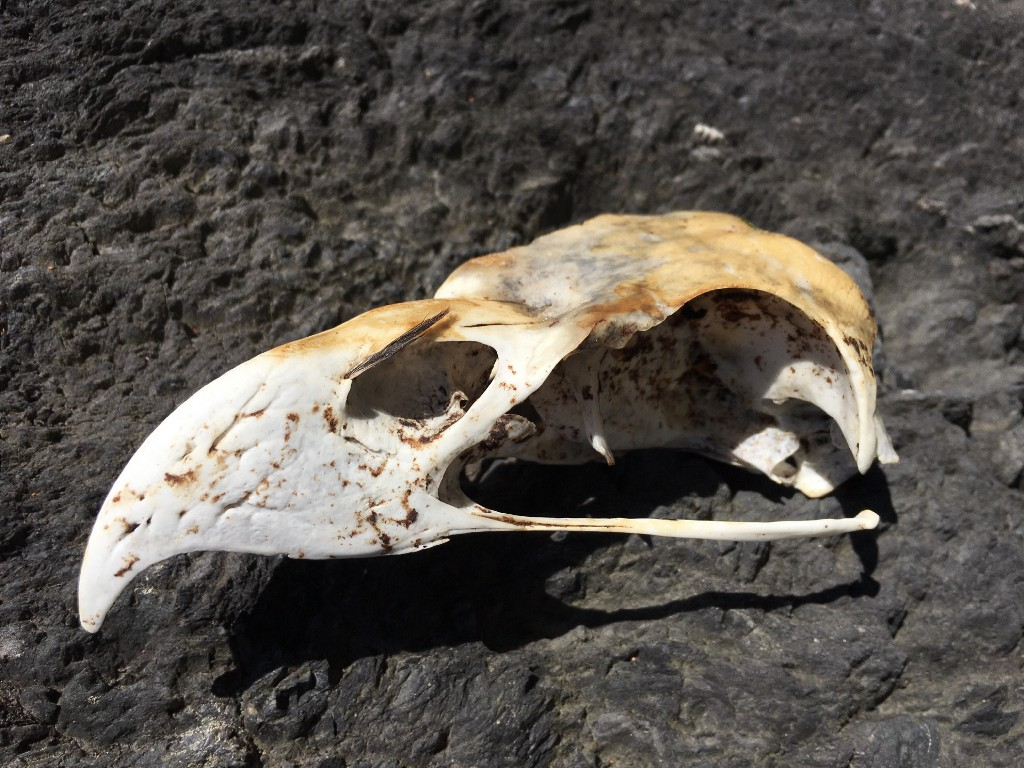 Worn skull of a Bald Eagle with the sharply curved beak. A tiny feather is embedded still above left nostril.