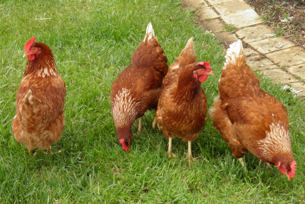 Class on raising backyard chickens to be held in Cherry Hill on Jan. 15