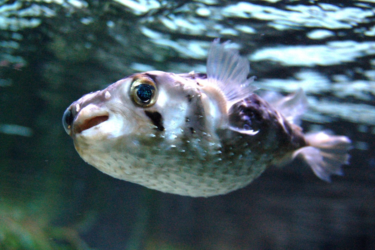 How drm evolved from protecting publishers from piracy to for Amazon puffer fish