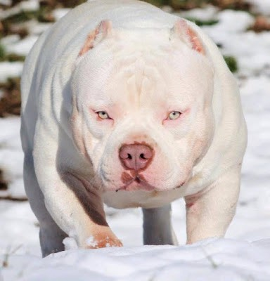 What is the best food to add muscle to my pit bull or american bully 2016 mascot gymrat bullyz omega forumfinder Choice Image