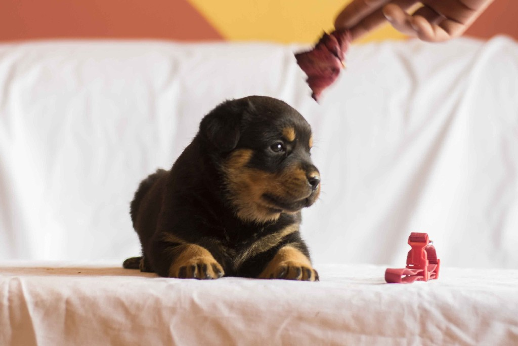 Rottweiler Puppy Mexico Fp German Rottweilers Fere Perfectum