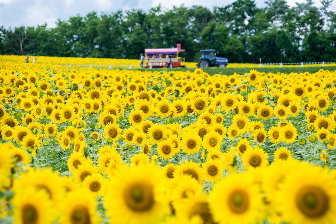 5 best flower fields to visit in hokkaido � japan travel guide jw web magazine