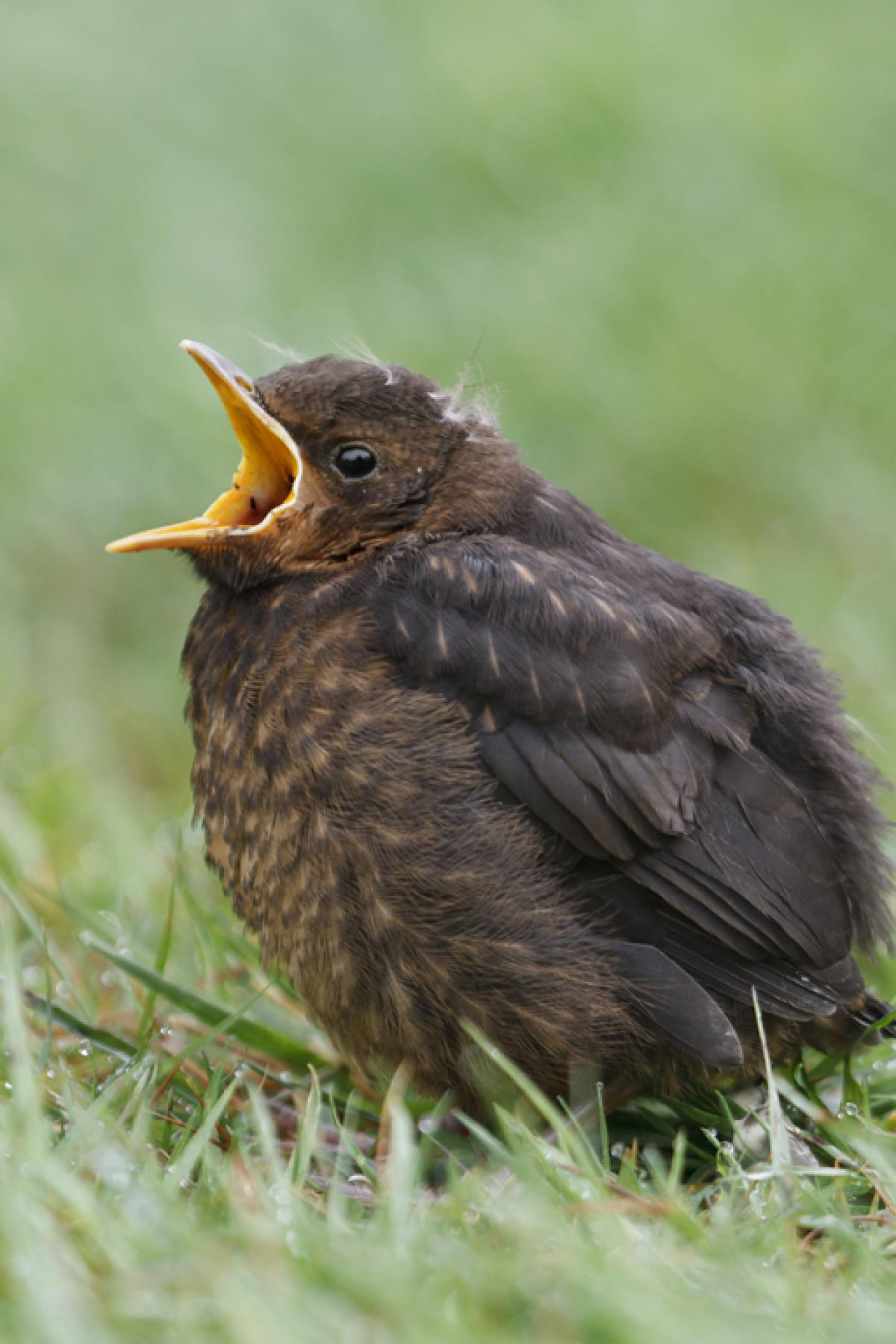 What should you do if you see a baby bird in your garden