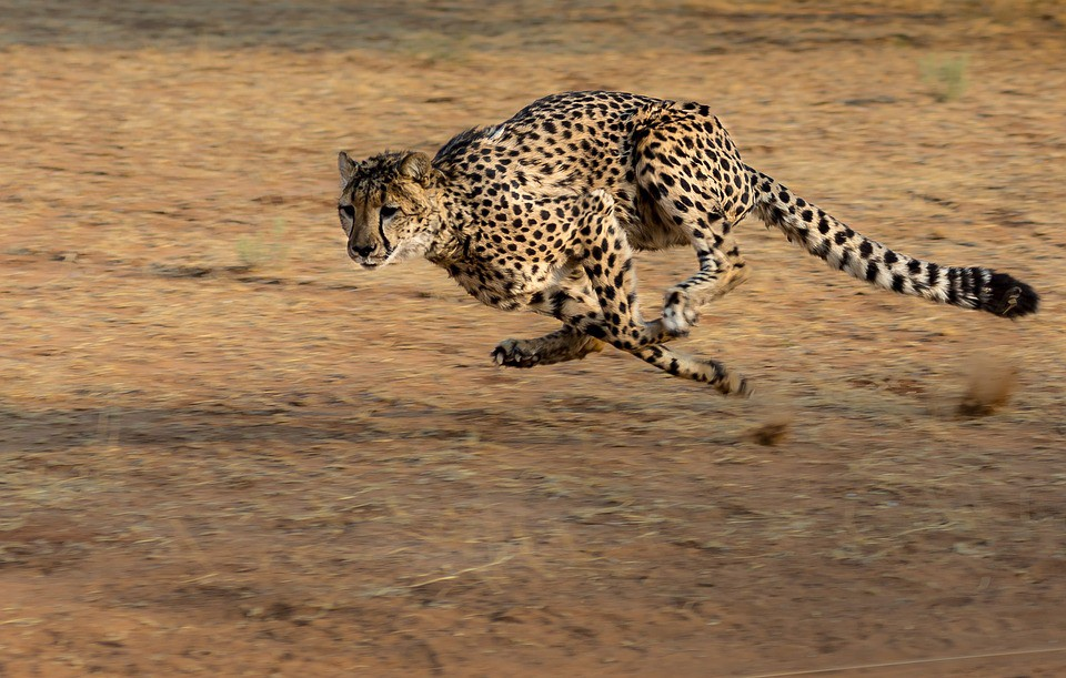 Cheetah's Speed: How To Achieve Nature's Fastest Acceleration