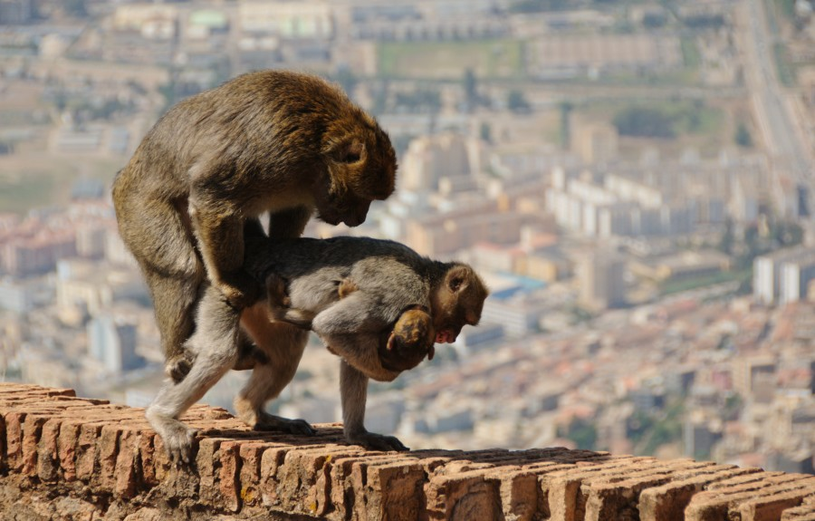 McComb and Semple found that male Barbary macaques respond stronger to  female sex noises made closer to ovulation/ Courtesy of Zil via Wikimedia  Commons