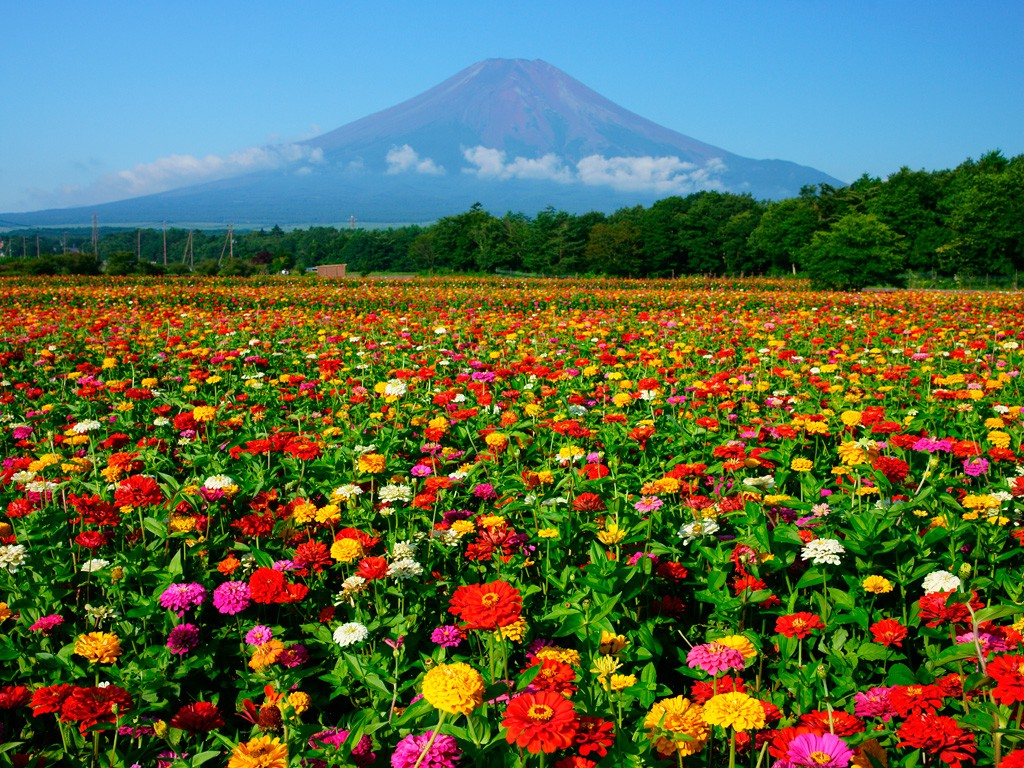Lake Yamanaka Flower Park Colourful Flowers Next Mt Fuji
