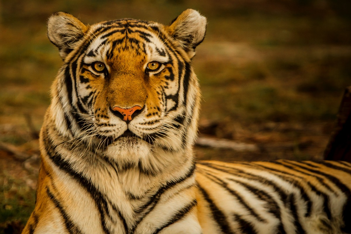 """""""A Tiger Fighter Is Hard To Find"""" by Ha Jin thumbnail"""