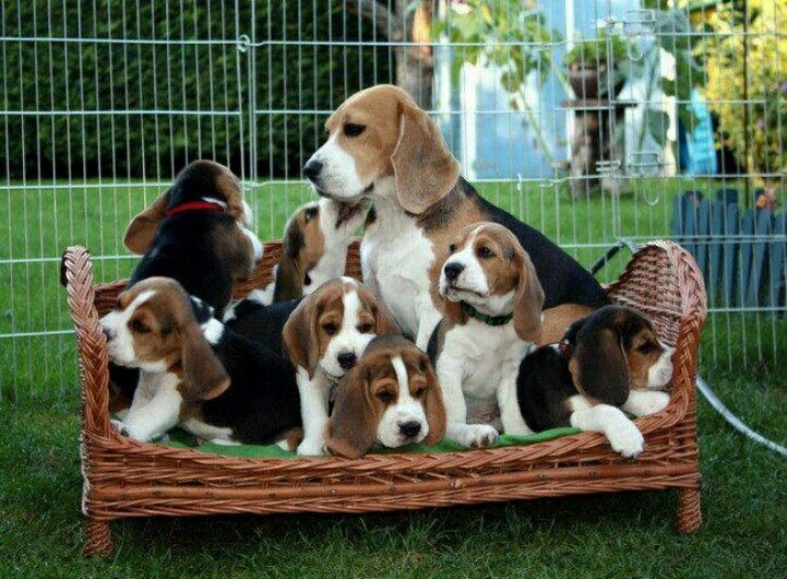 Where To Have The Best Beagle Puppies For Sale In California