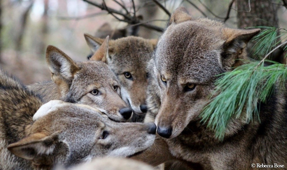 bae7e6e8944d48 This essay explores the history of the red wolf and its remarkable return  to the wilds of the Southeastern United States.