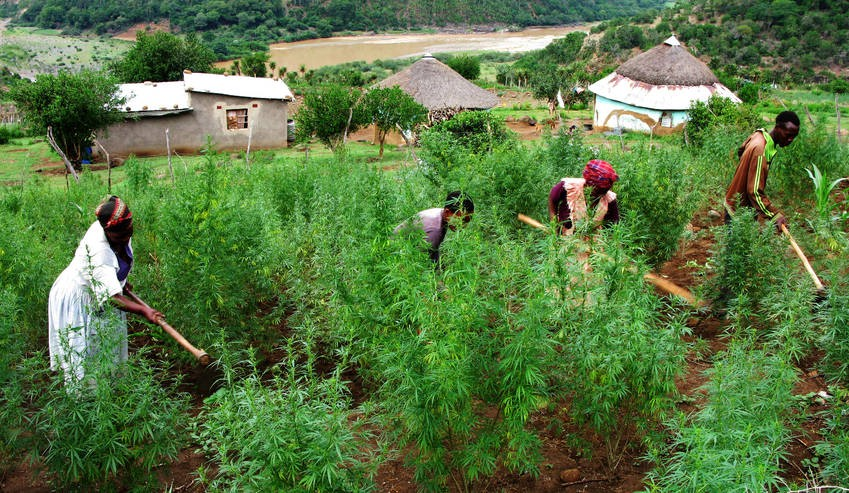 Image result for cannabis in Africa