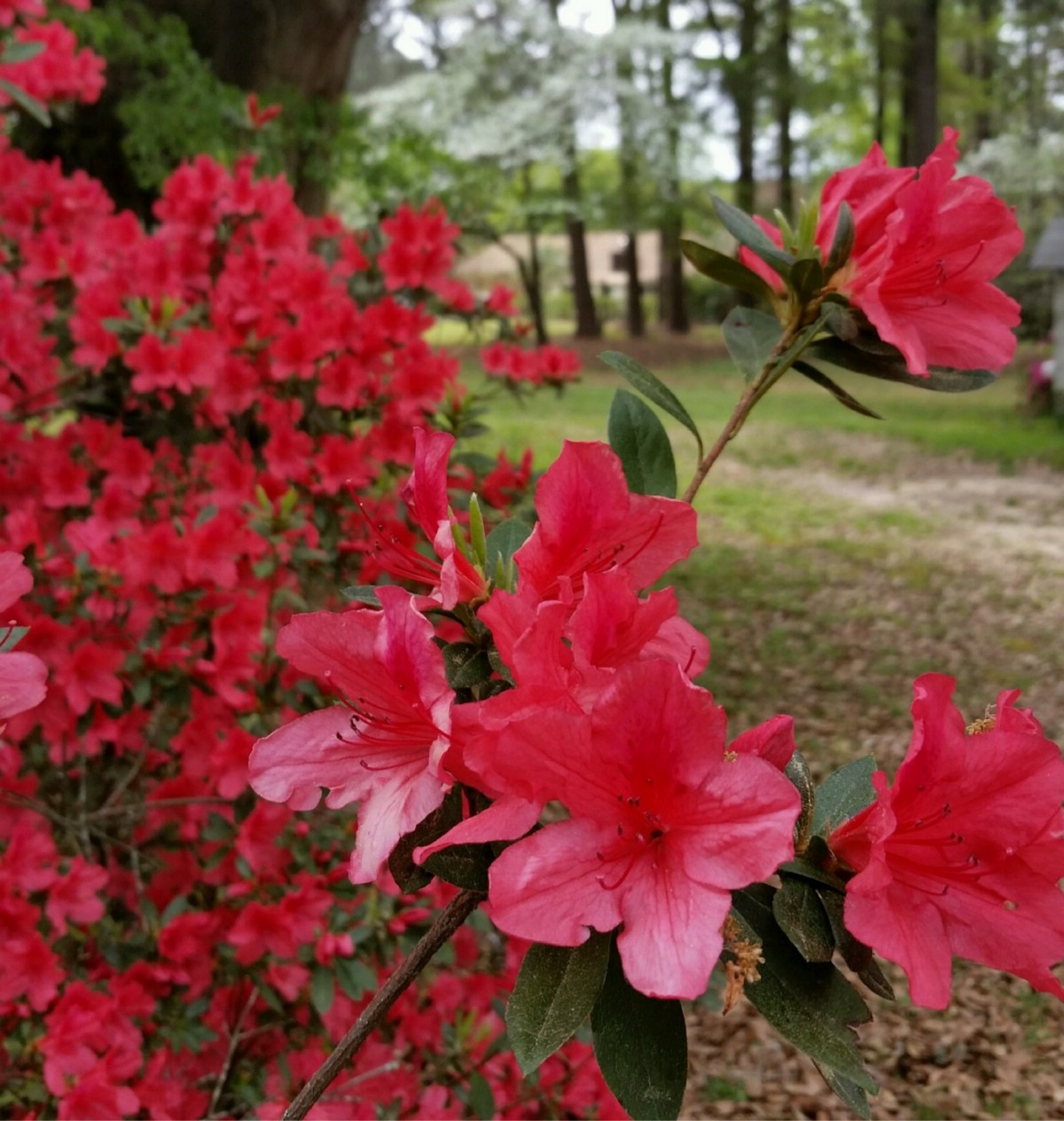 Star Bursts In Spring All Southern Things