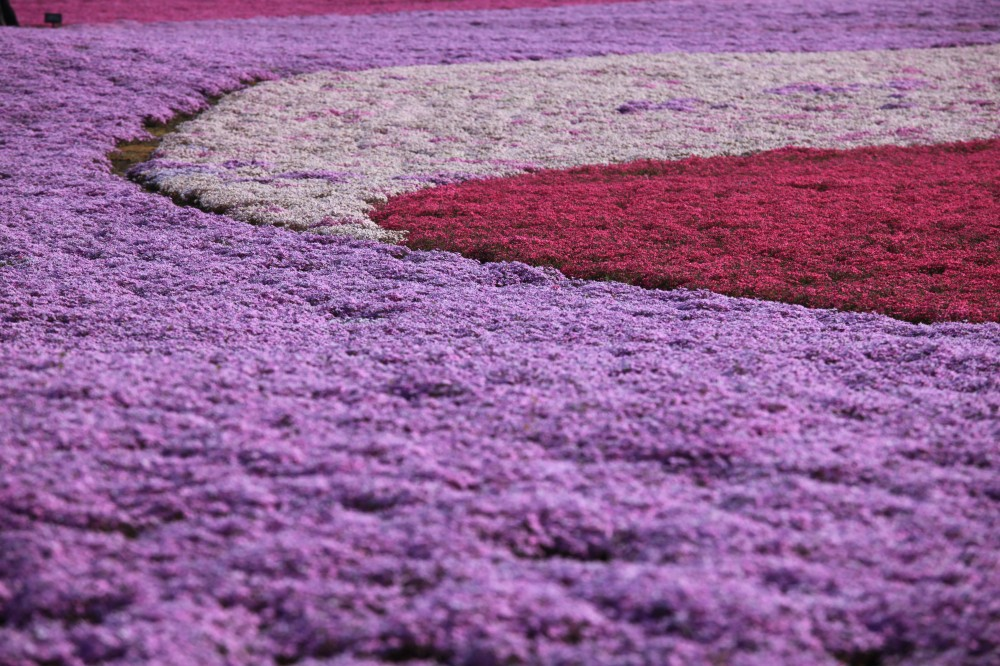2018 fuji shibazakura festival japan travel guide jw web magazine 800000 pink moss flowers are planted in a vast land of 23 ha on the base of mtfuji at the festival 5 different colours of pink moss create colourful mightylinksfo