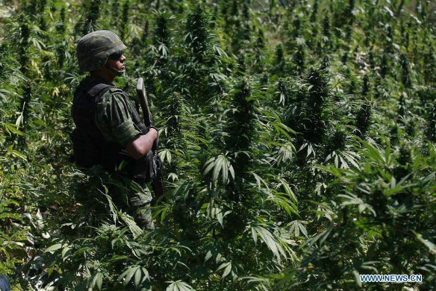 Mexican Farmers Are Giving Up On Marijuana Homeland