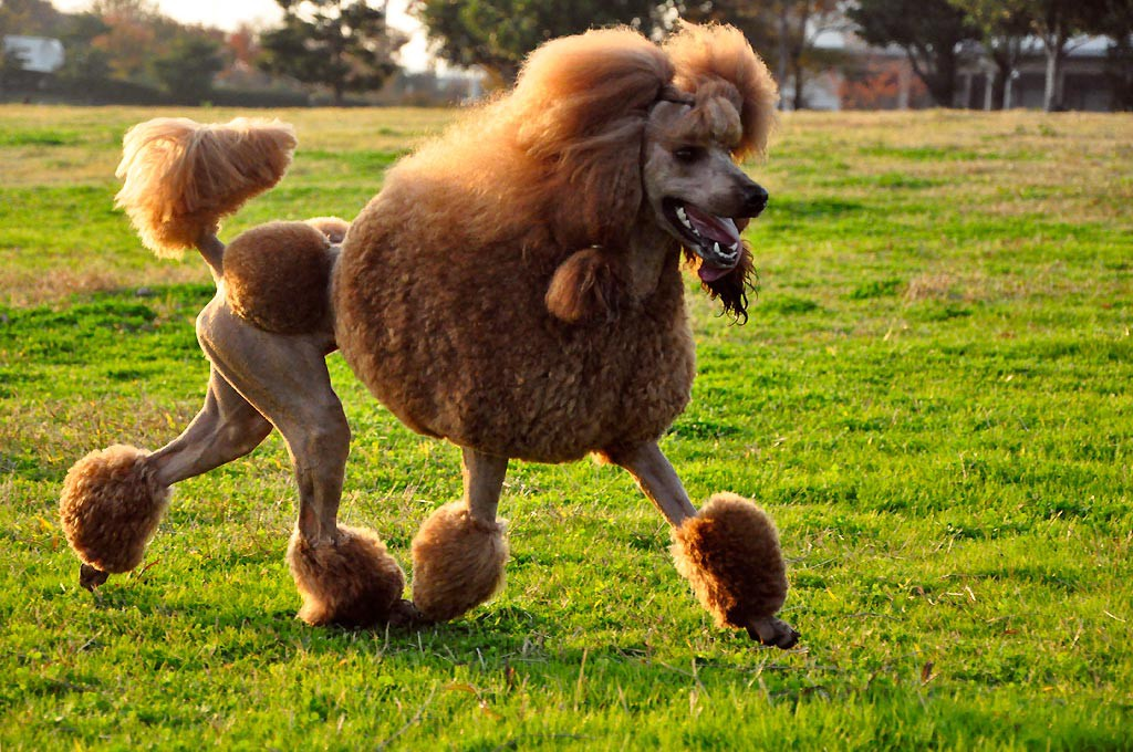 all you ever wanted to know about poodles samantha weald medium