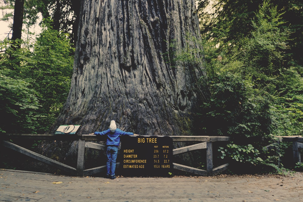 A person looking up at a HUGE tree