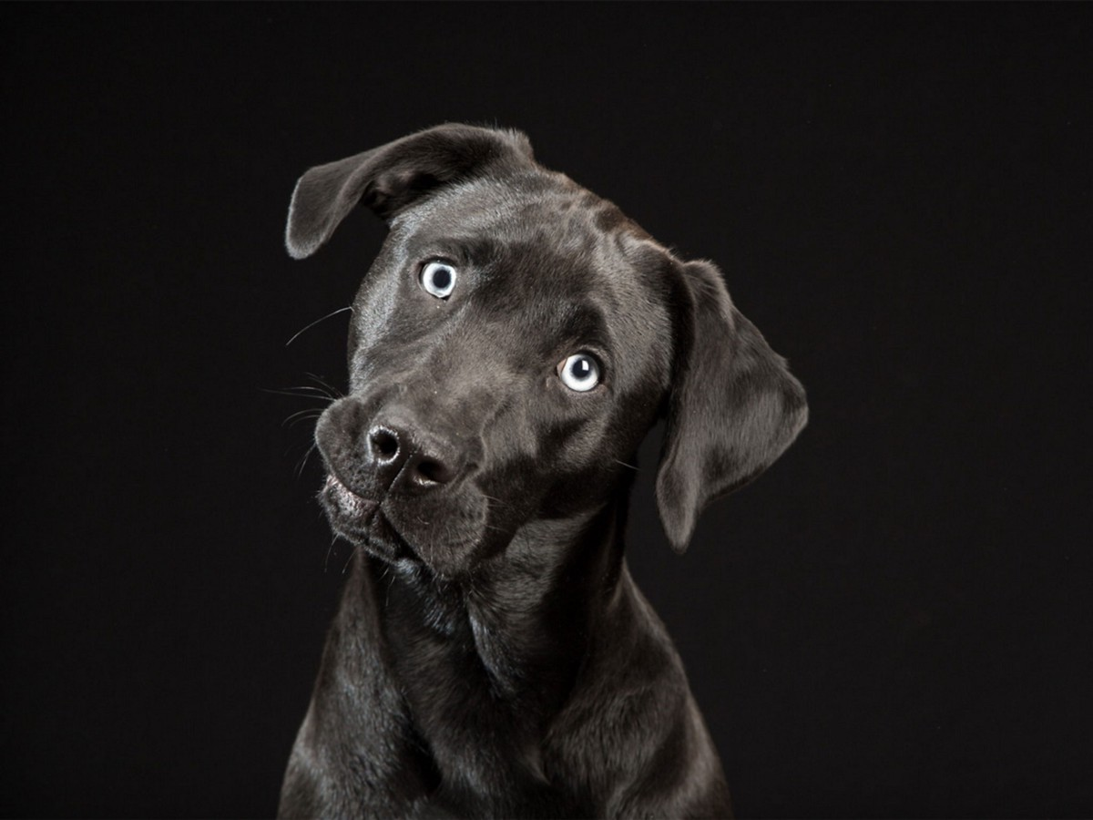 the �black dogs project� sheds light on black dog syndrome