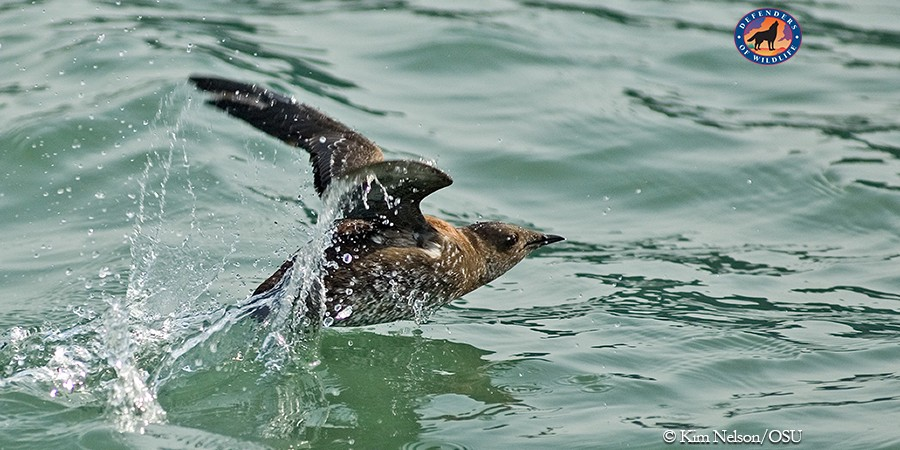 Breakthrough for the Conservation of Marbled Murrelets