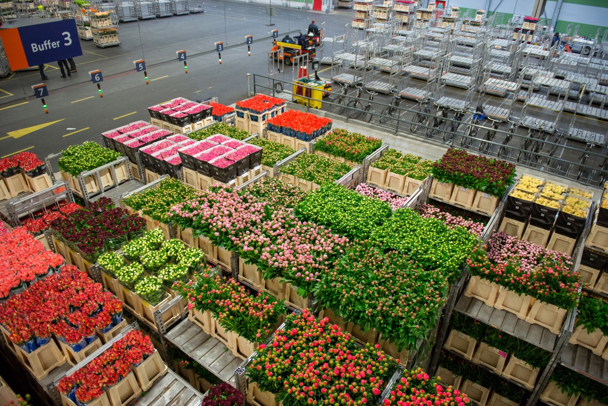 British blooms are back and are finally competing with cheap imports the warehouse of a dutch flower market izmirmasajfo