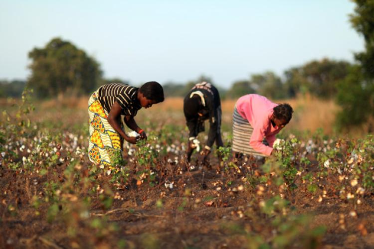 Gmo Cotton Benefits Indian Farmers While Organic Cotton