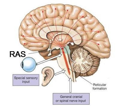 The Reticular Activating Systems Ras Huge Influence On Self