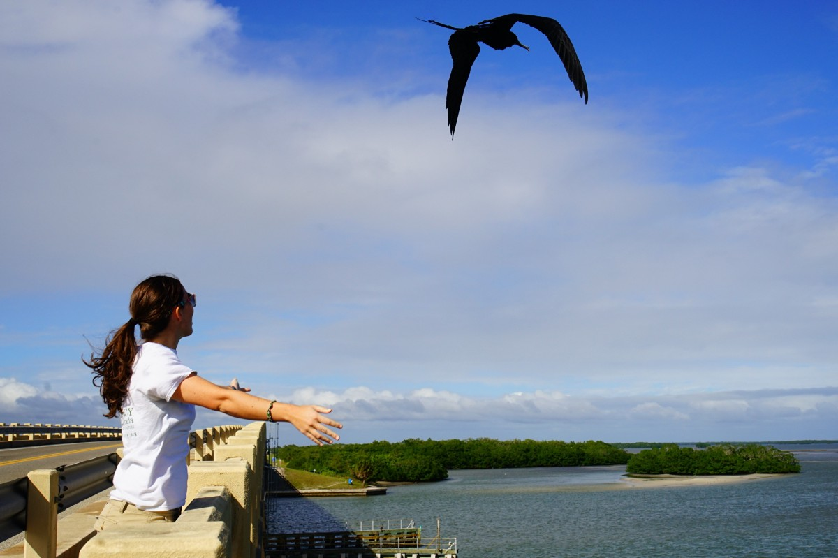 Magnificent frigatebird magnificent release – Medium