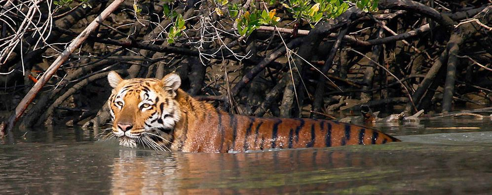 Image result for Spotting a tiger in the Sunderbans National Park, West Bengal
