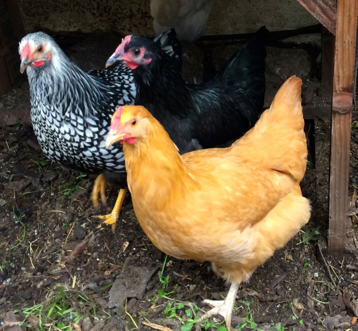 A Guide to Raising Chickens for Busy People