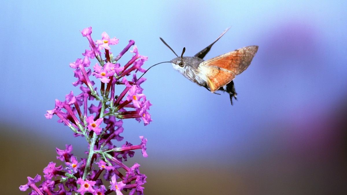 Hungry hawkmoths are helping scientists improve drone flight capabilities | @GrrlScientist