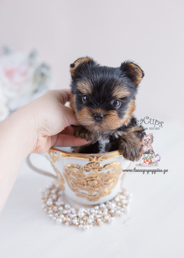 Places To Get A Teacup Yorkie Puppies For Sale Sawitsky Michele