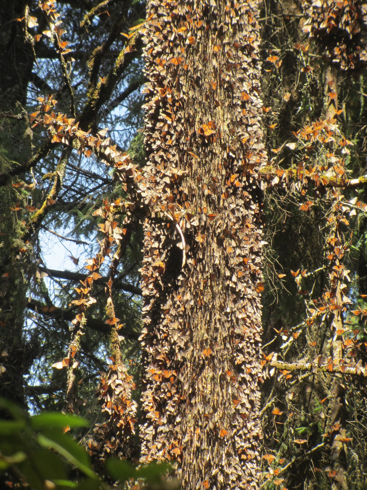 Monarch butterfly migration tree - photo#37