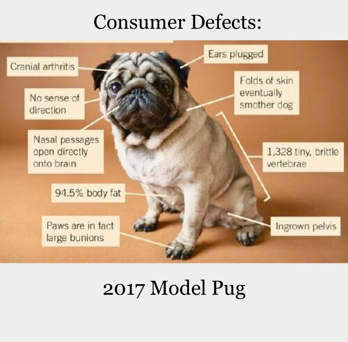 Pug Dog Breed Characteristics