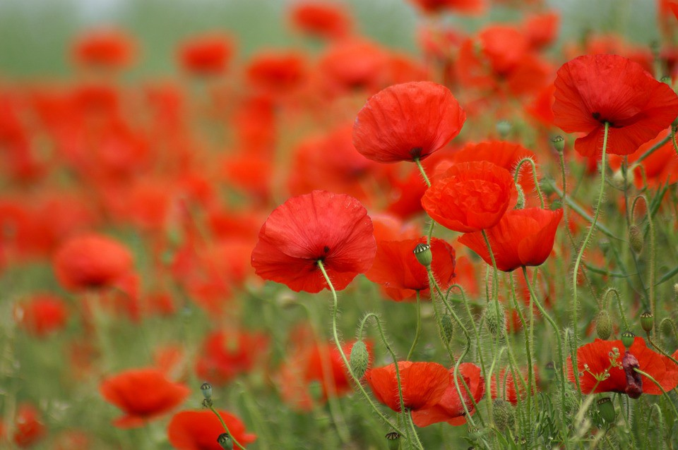 Poppies Fiction By Kit Haggard Electric Literature