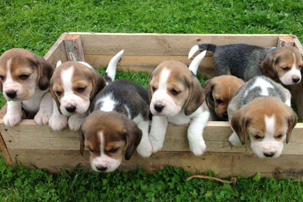 The Best Beagle Puppies For Sale In California Is On