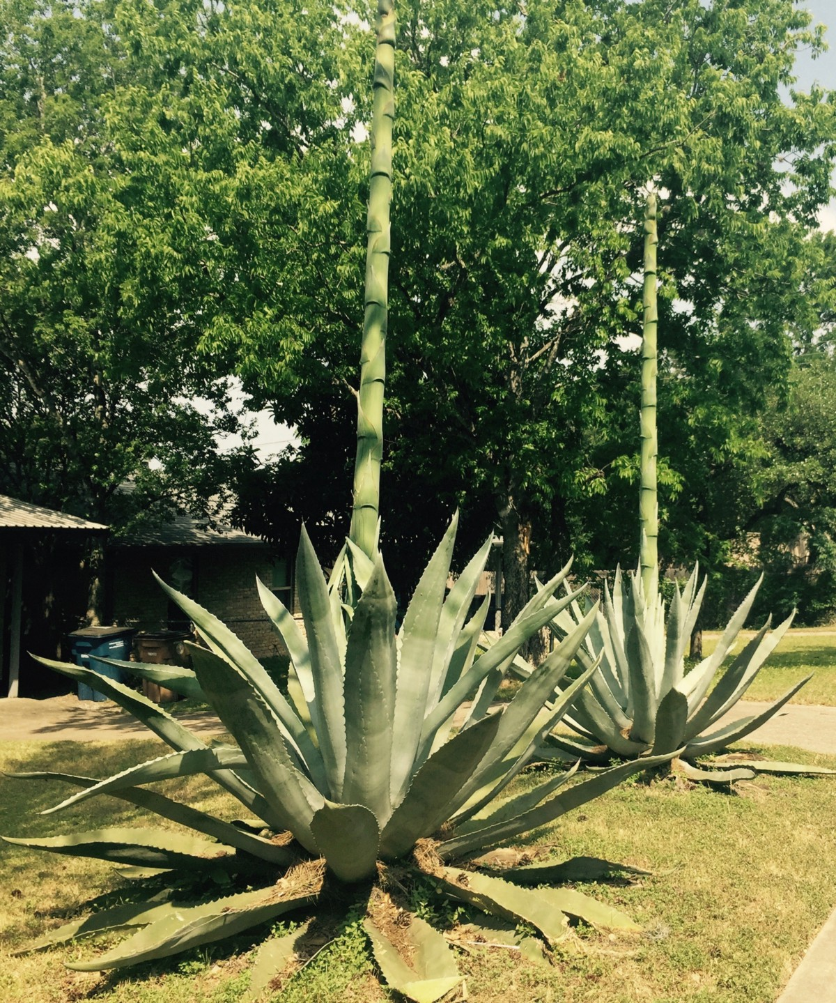 a study of the agave plant The agave produce one of the largest known inflorescences in the plant kingdom  (1)  the ultimate goal of most of these studies is to identify which evolutionary.