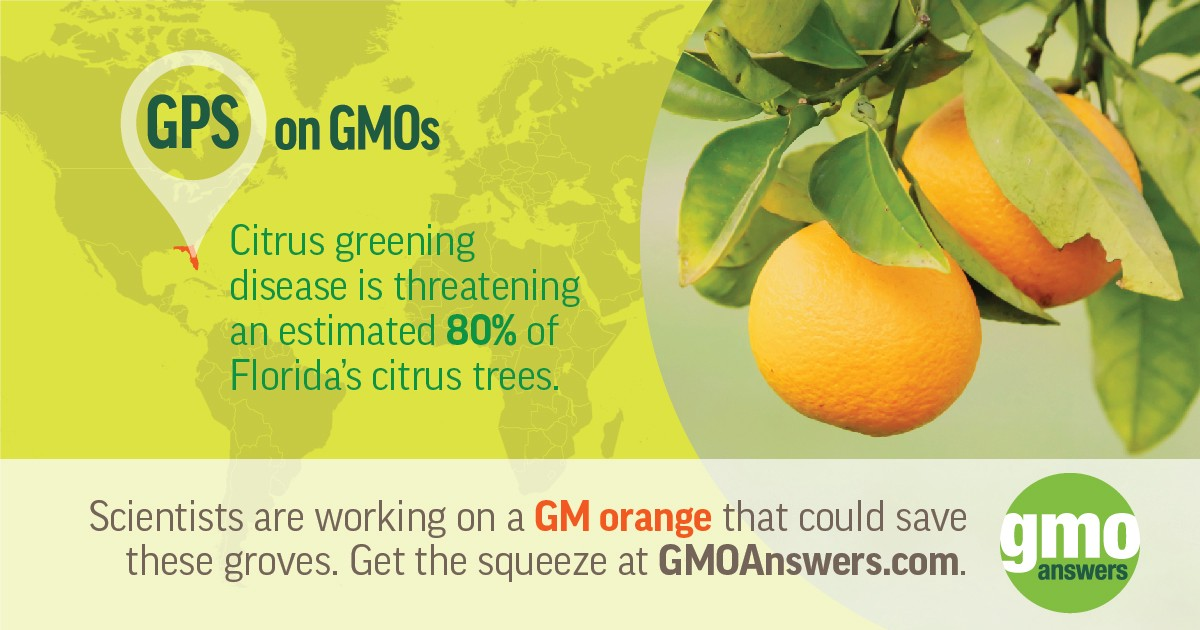 Genetic engineering is the fastest method of citrus improvement that may be  able to save this Florida crop. (Image Credit  GMO Answers) 309cb44e2d1