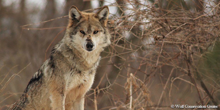 Leg-Hold Traps Are Killing Endangered Mexican Gray Wolves